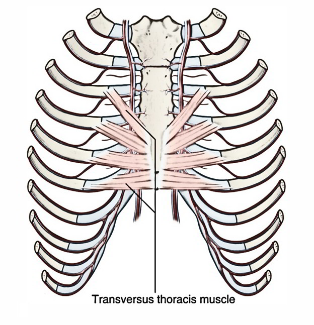 easy notes on �transversus thoracis muscles�learn in just