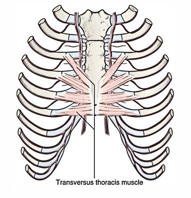 Transversus Thoracis Muscles