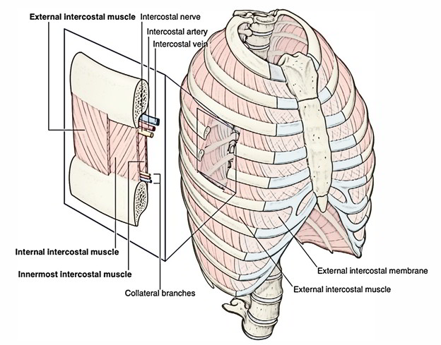 how to build intercostal muscles