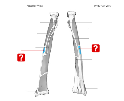 Complete Anatomy of 【Radius Bone】Learn With Pictures and Quizzes!