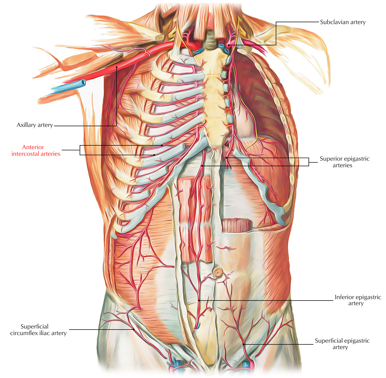 Easy Notes On 【Anterior Intercostal Arteries】Learn in Just 3 Minutes!