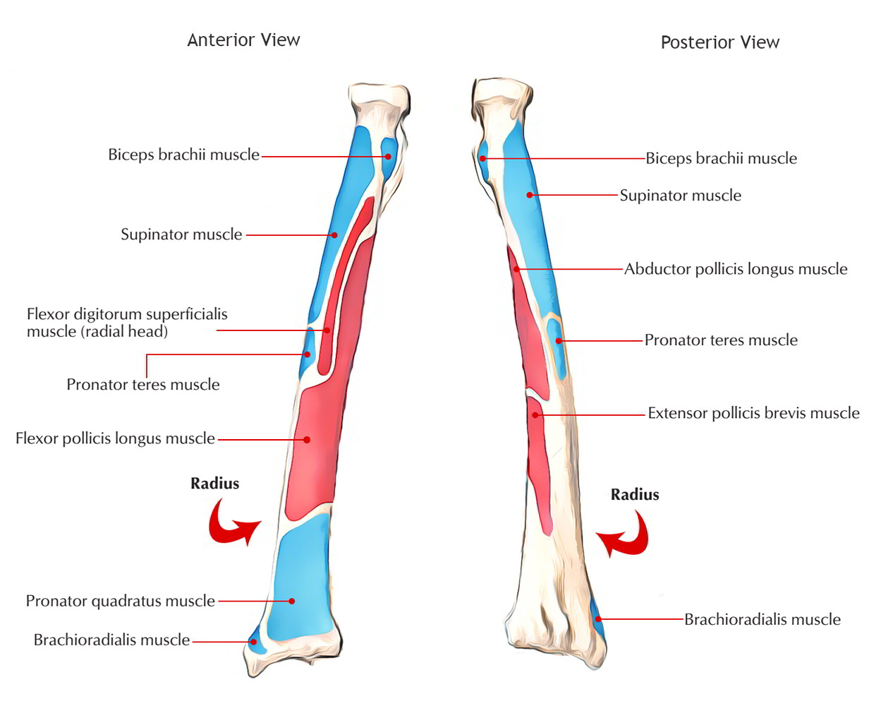 Right Anterior And Posterior Radius Ulna Anatomy Diagram - Block And ...