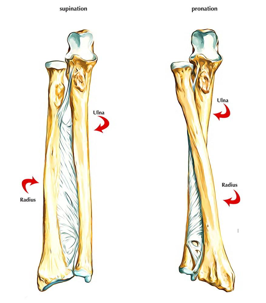 Radius bone anatomy