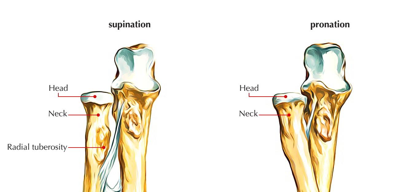 radius bone anatomy attachments ossification and diagram of biceps brachii