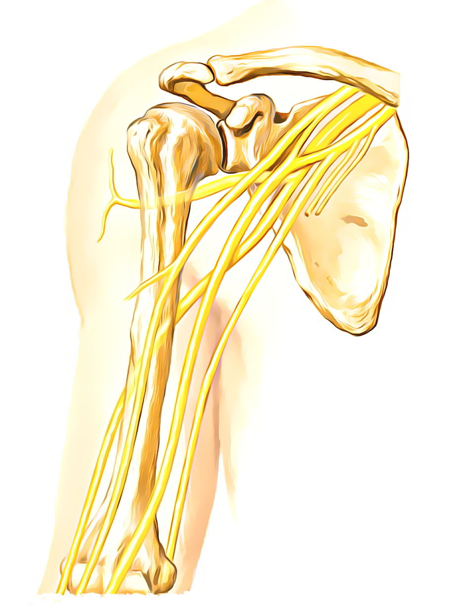 Easy Notes On 【Median Nerve】Learn in Just 4 Minutes!
