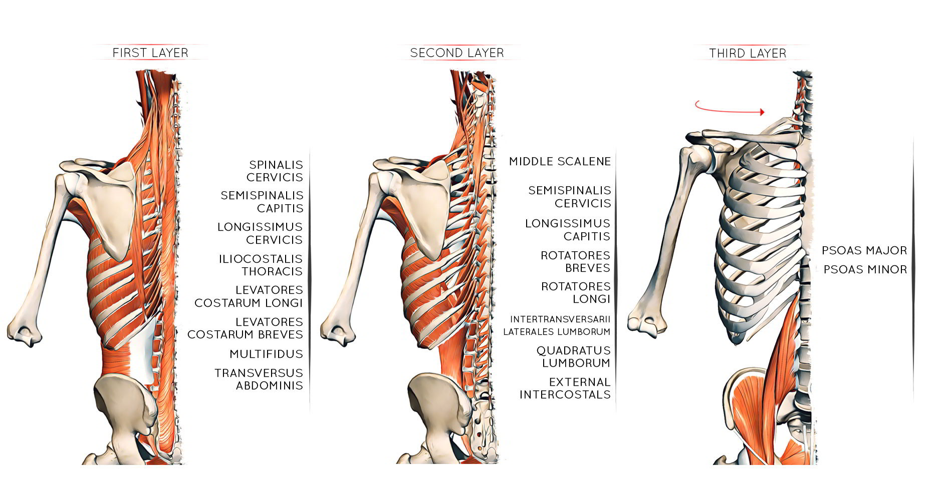 Easy Notes On Thoracic Cage Muscles Formation And Shape