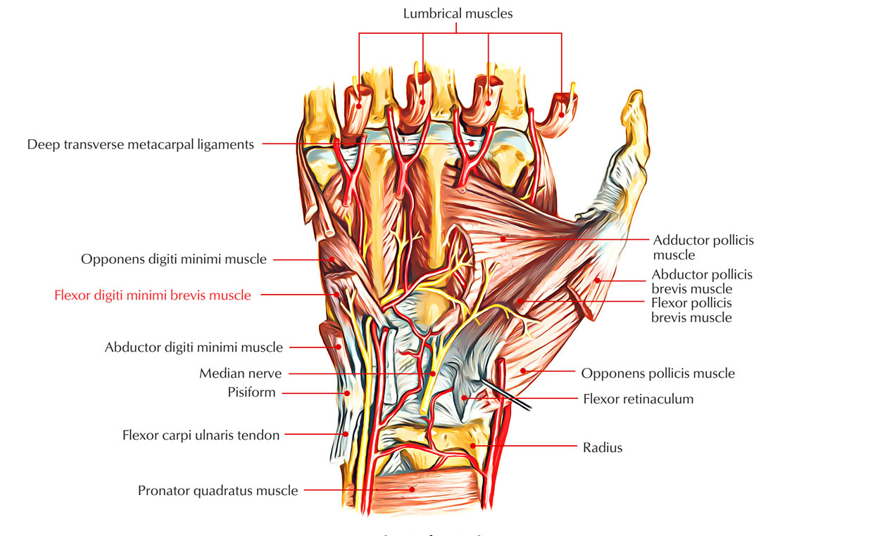 Flexor Digiti Minimi Brevis (Hand)