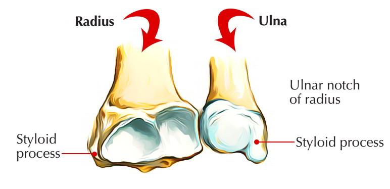 Lower End Radius Bone