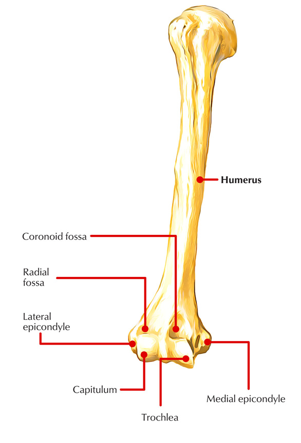 Medial Epicondyle of Humerus