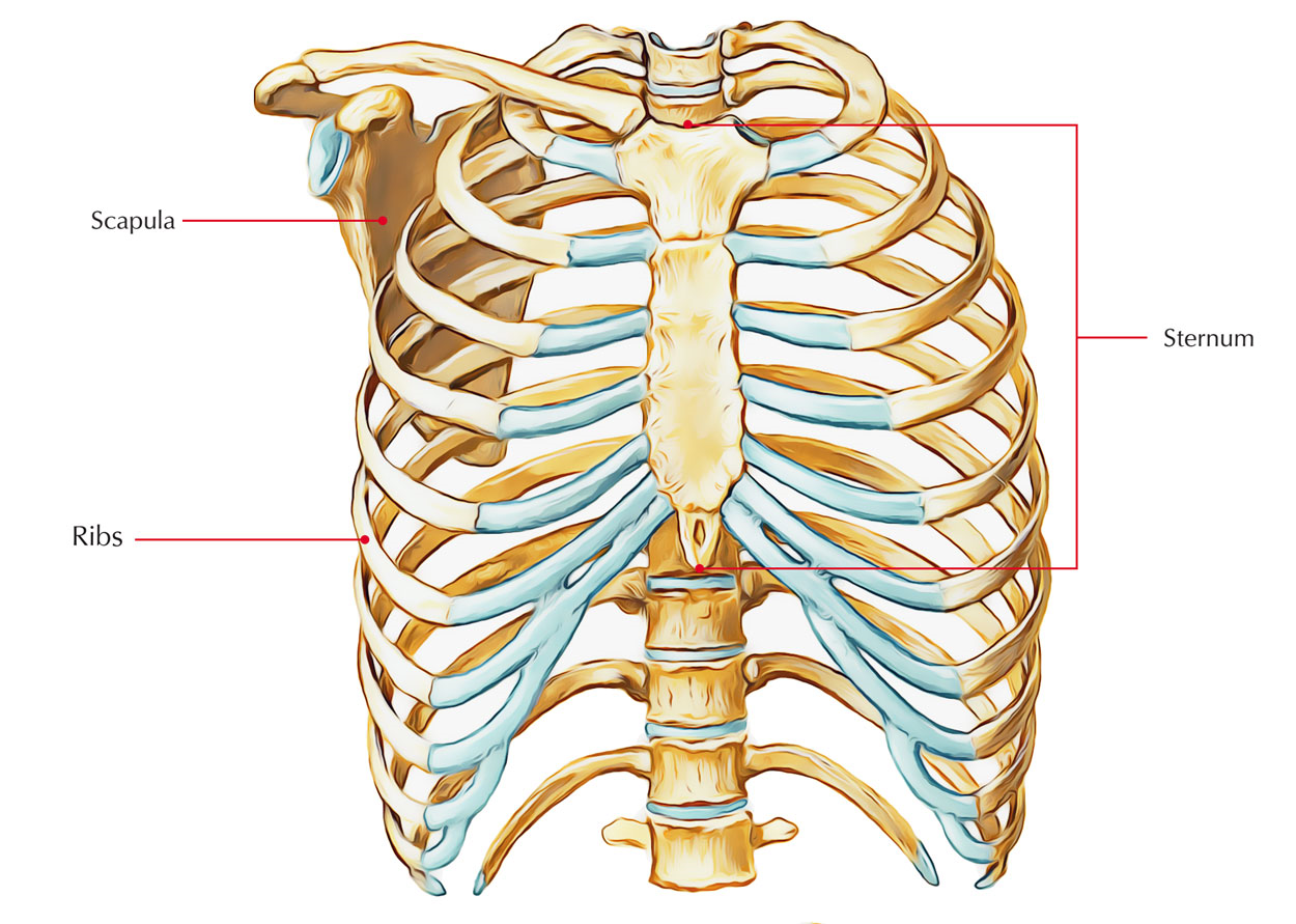 Location of Sternum
