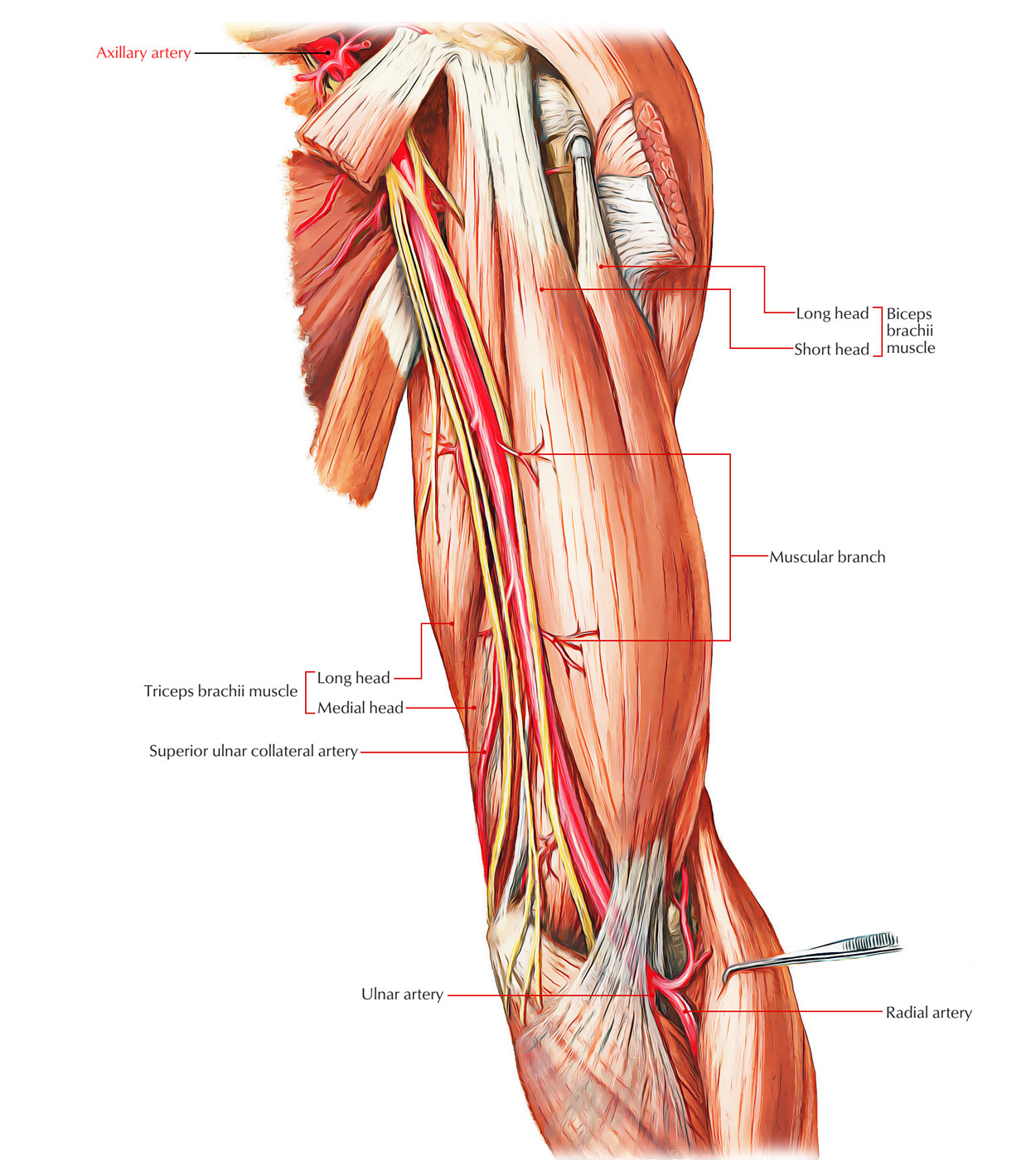Easy Notes On Arteries Of The Upper Limblearn In Just 4 Minutes