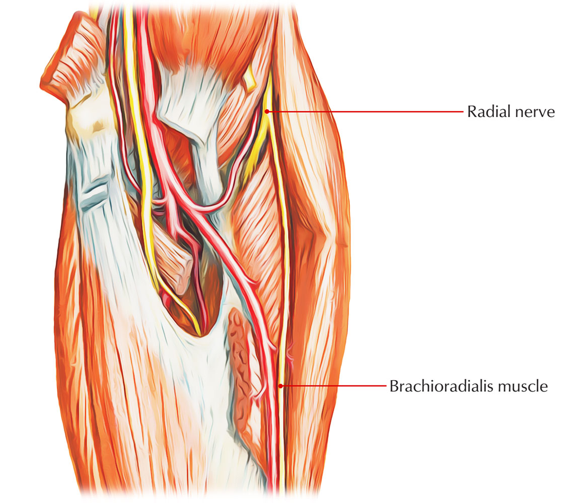 Nerve Supply of Brachioradialis
