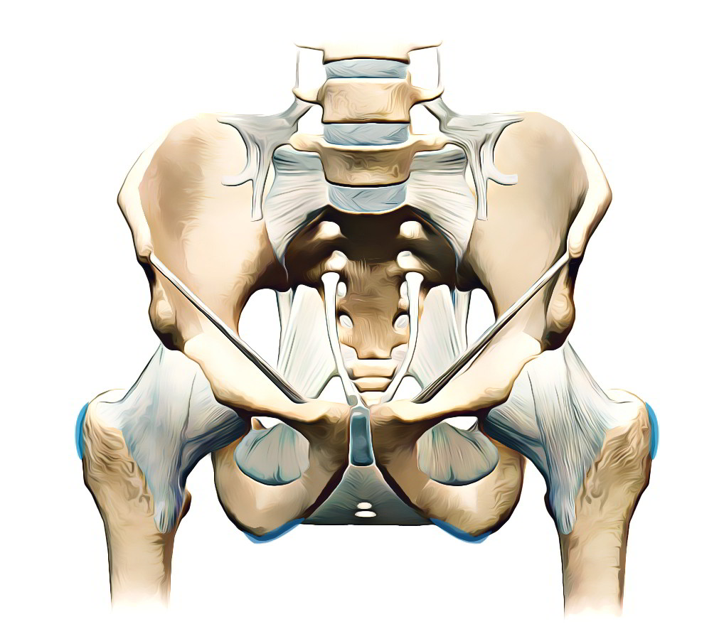 Pelvic Girdle – Coxal Bones | Earth's Lab