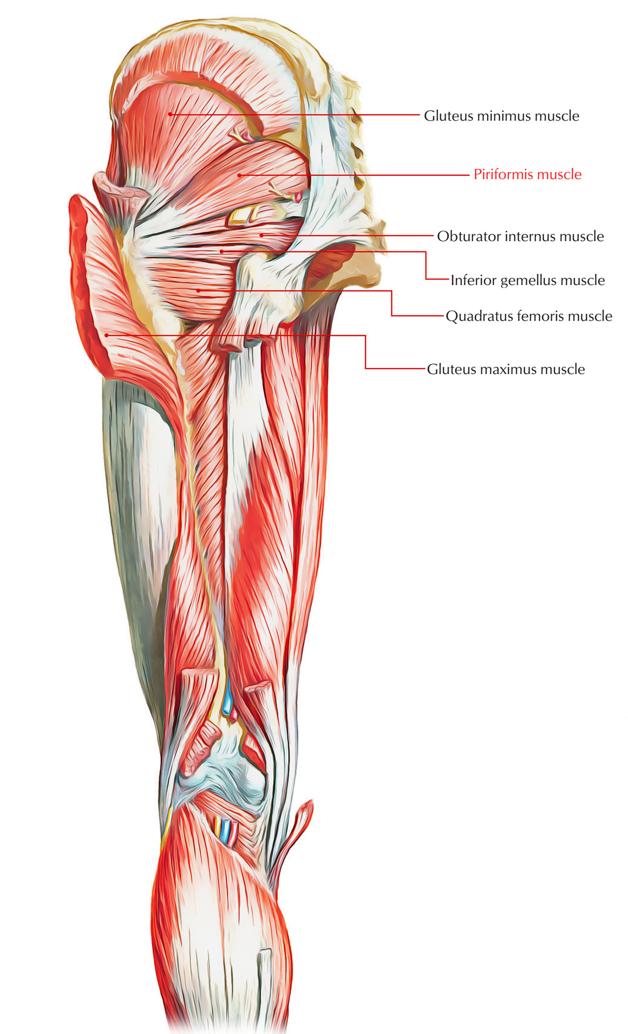 Muscles of the Pelvis: Piriformis