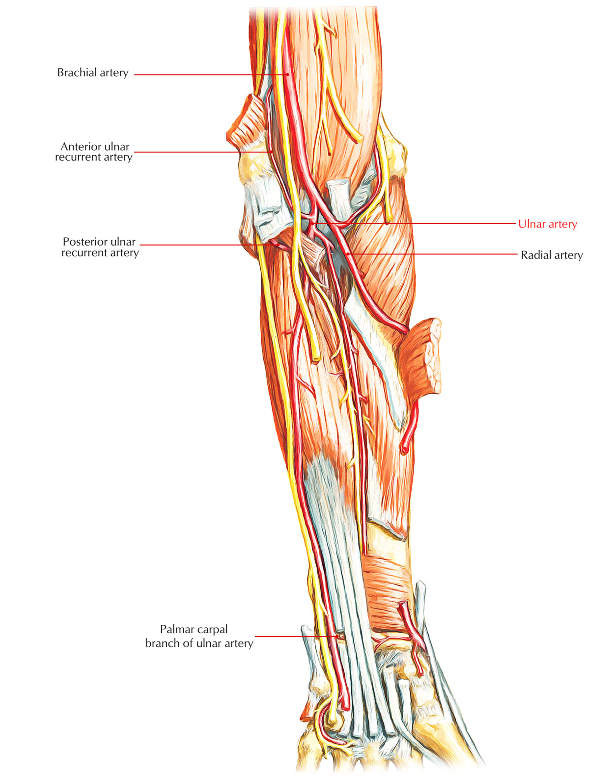 Arteries of Upper Limb: Ulnar Artery