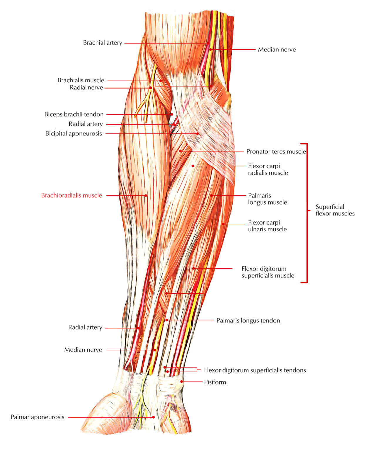 Easy Notes On 【Brachioradialis】Learn in Just 4 Minutes!