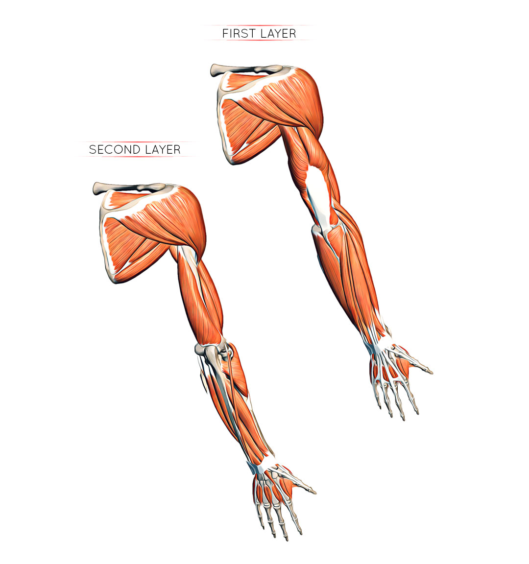 Easy Notes On 【Muscles of the Anterior or Front of the Forearm】