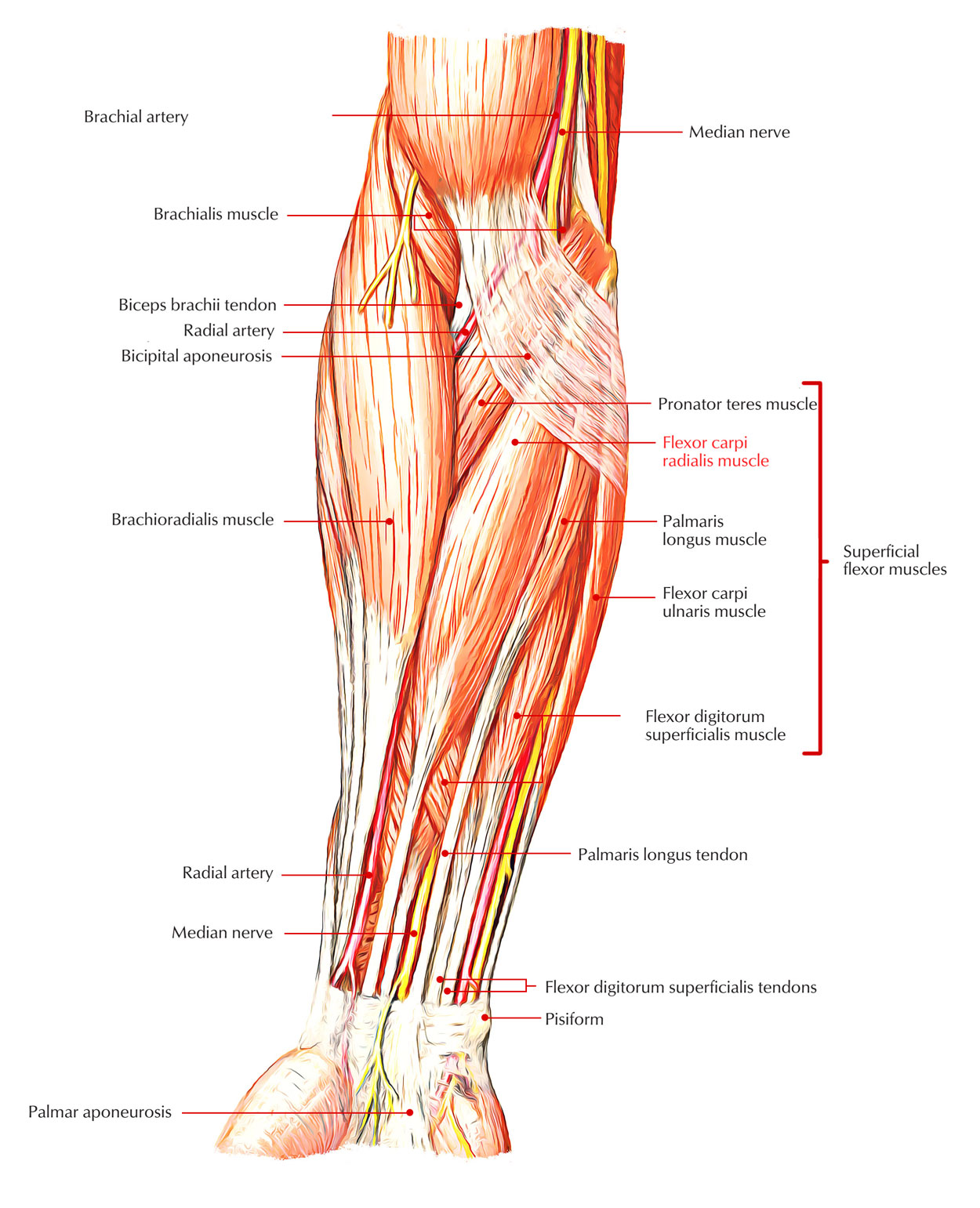 Easy Notes On 【Flexor Carpi Radialis】Learn in Just 3 Minutes!