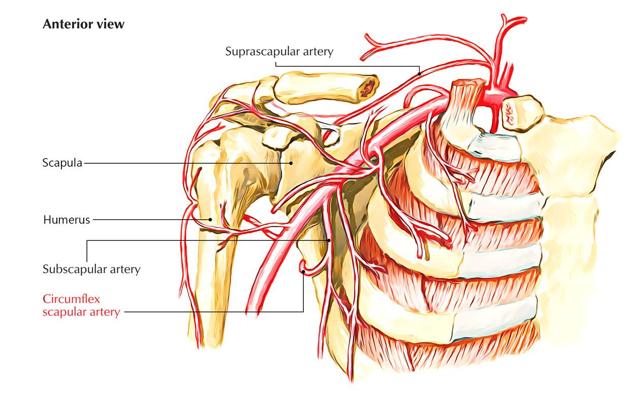 Circumflex Scapular Artery - Anterior View