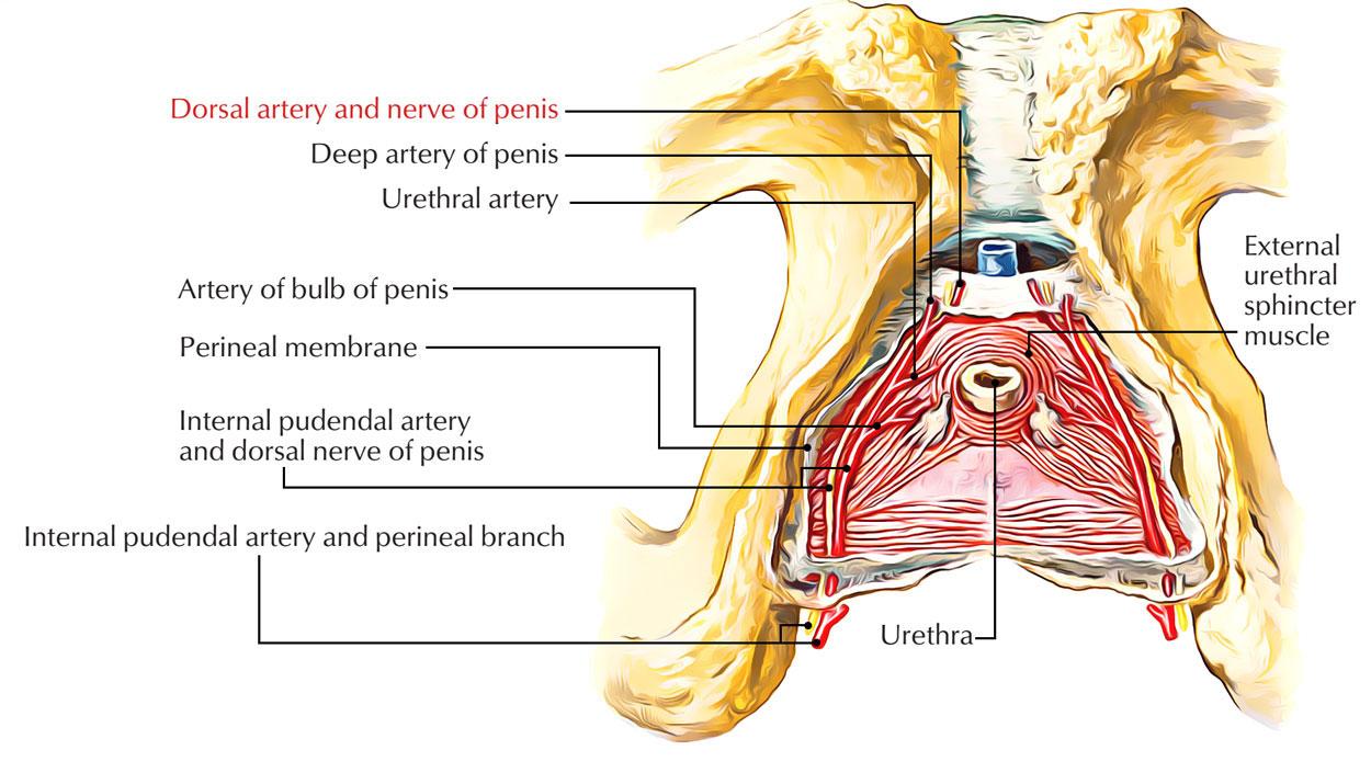 Dorsal artery of penis