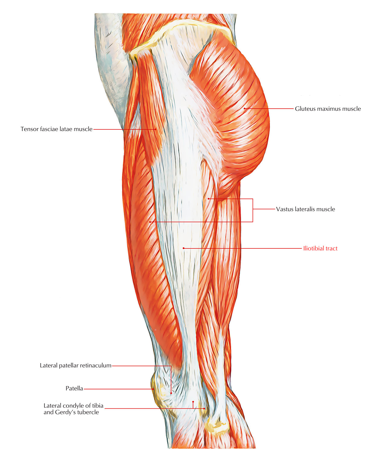 Pathway Pictures Easy Notes On 【iliotibial Band】learn In Just 4 Minutes