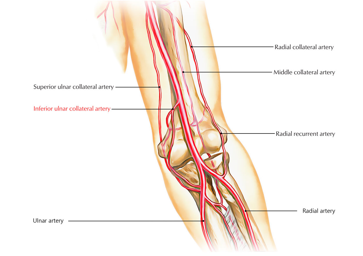 Inferior Ulnar Collateral Artery