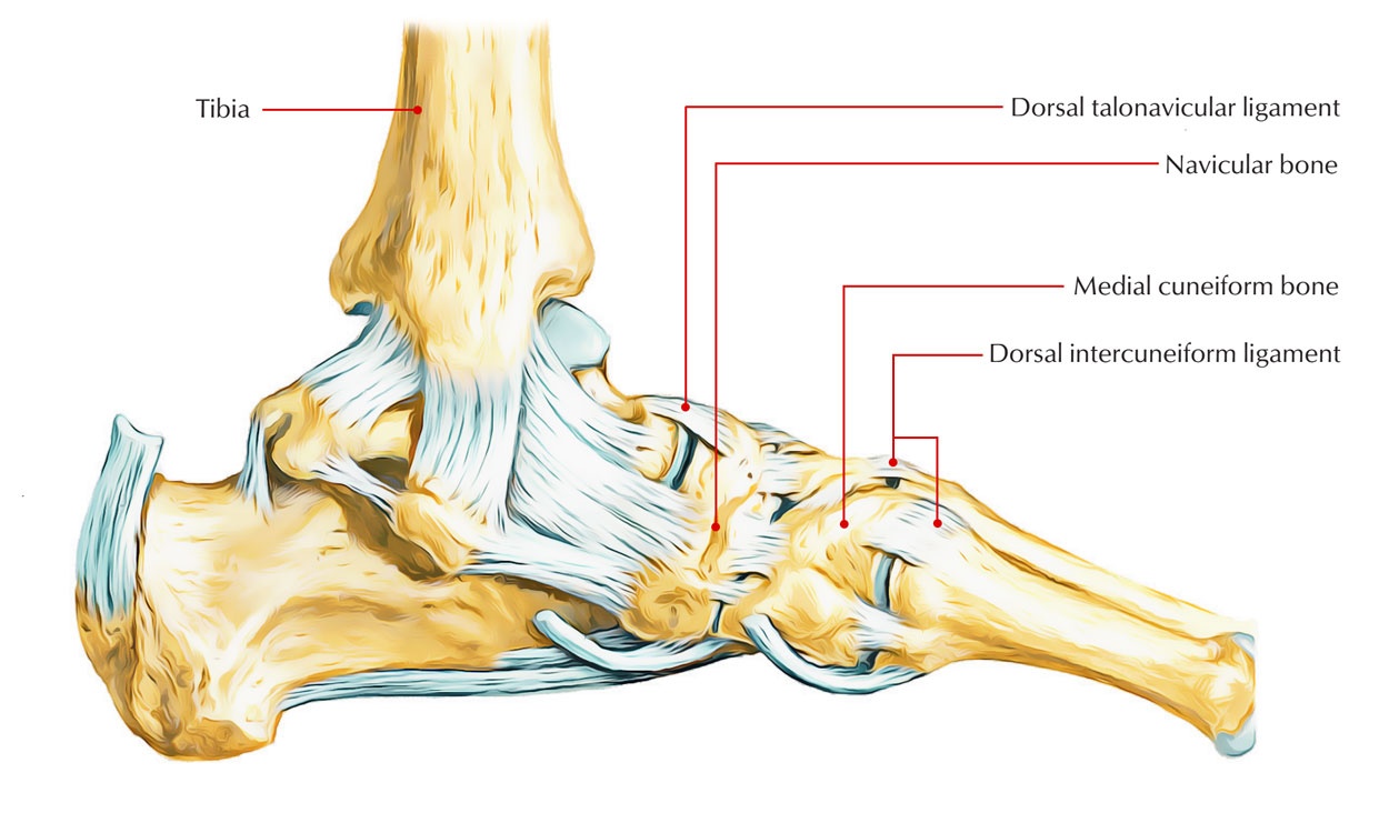 Easy Notes On 【Navicular bone】Learn in Just 4 Minutes!
