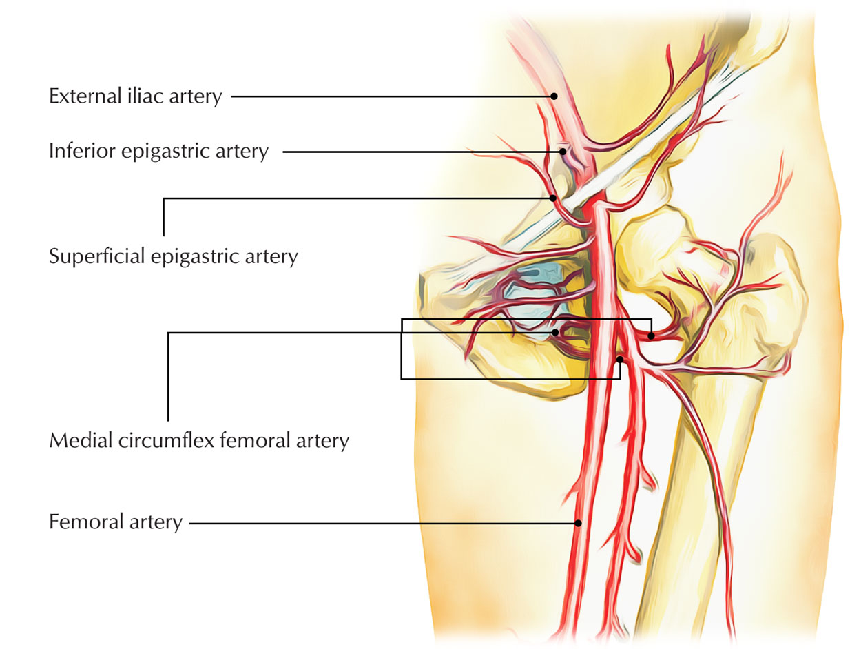 easy notes on �superficial epigastric artery�learn in just