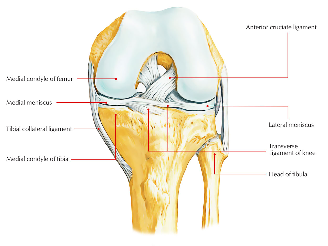 easy notes on medial meniscus learn in just 4 minutes