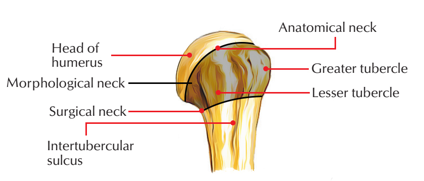 Anatomical Neck of Humerus