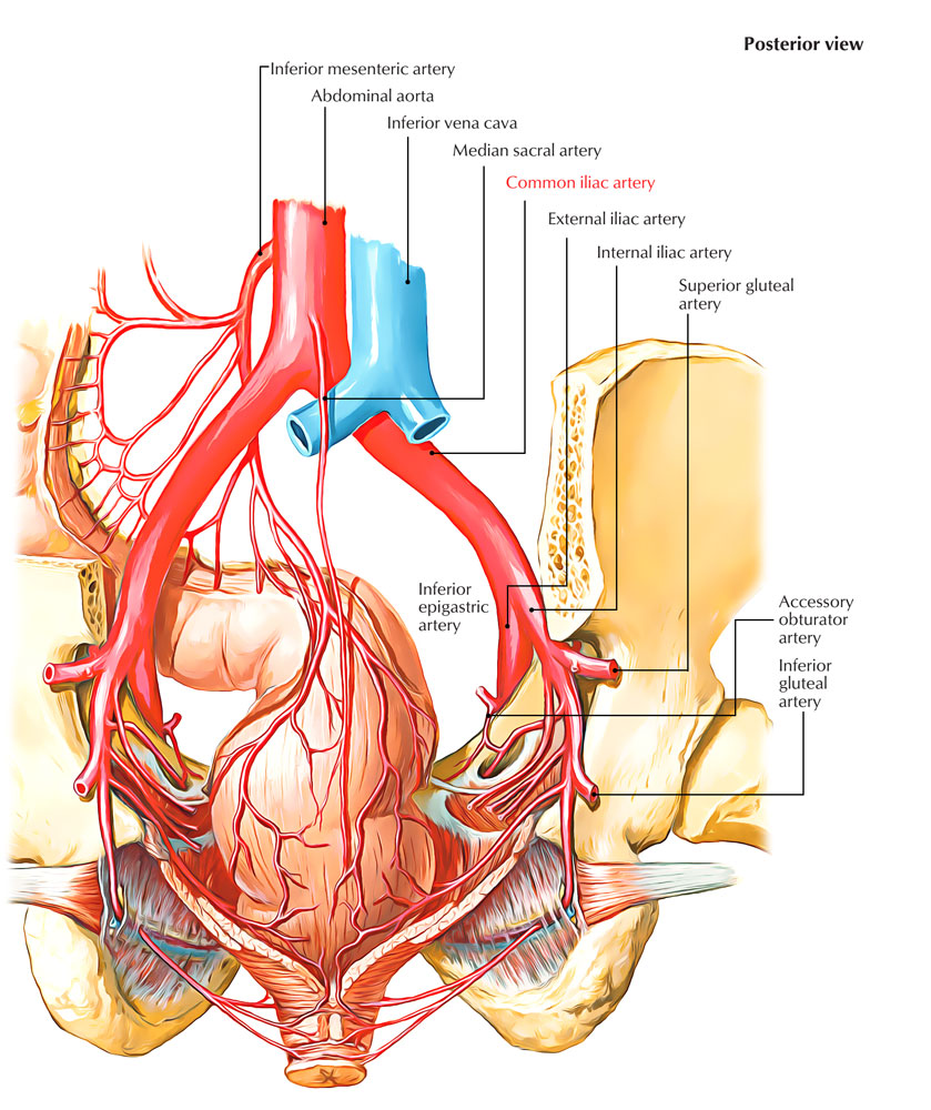 Easy Notes On 【Common Iliac Arteries】Learn in Just 3 Minutes!