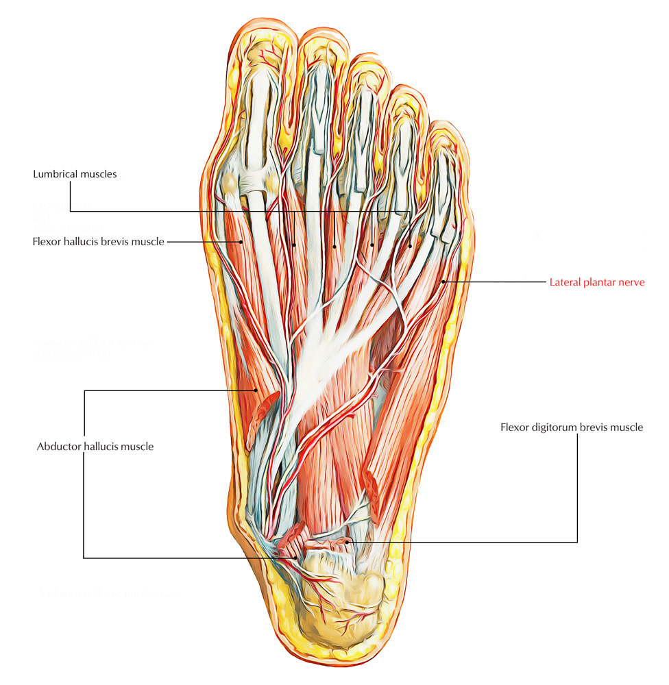 Easy Notes On 【Lateral Plantar Nerve】Learn in Just 3 Minutes!