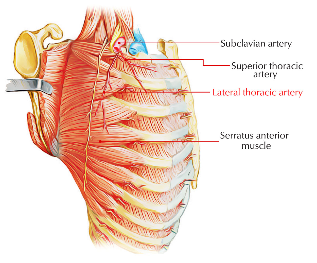 Lateral Thoracic Artery