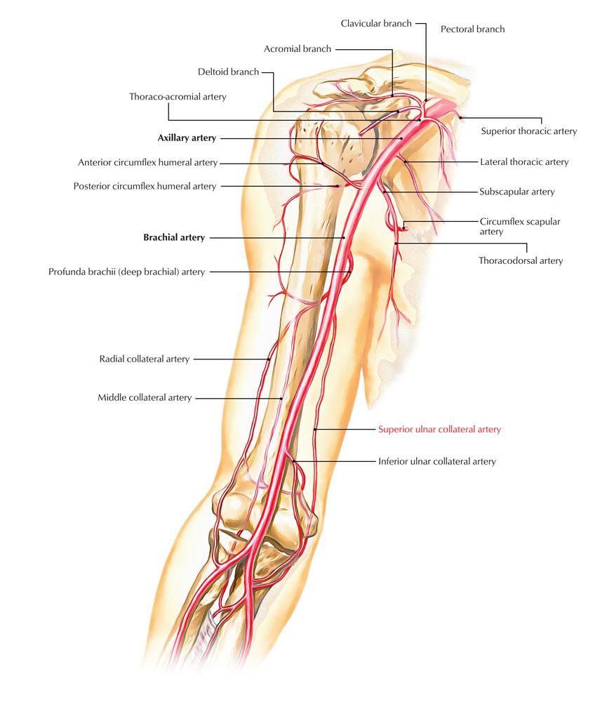 Superior Ulnar Collateral Artery