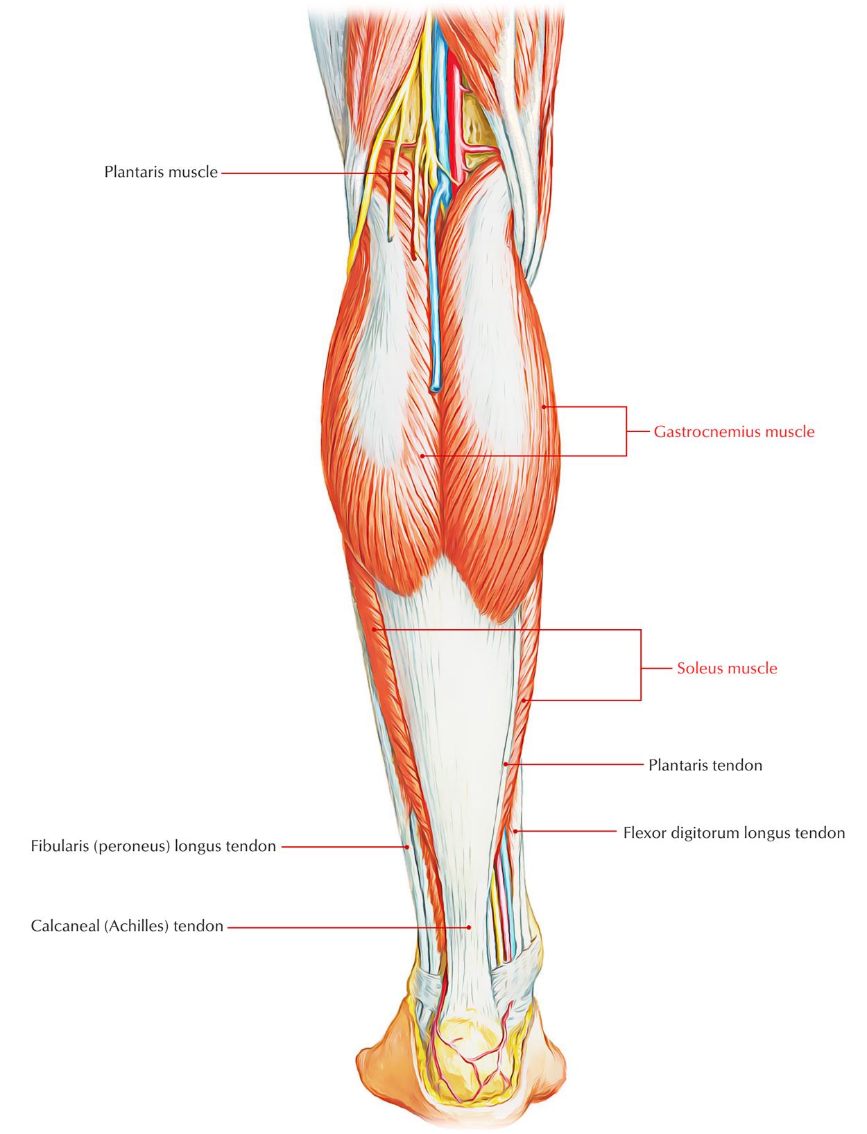 Triceps Surae