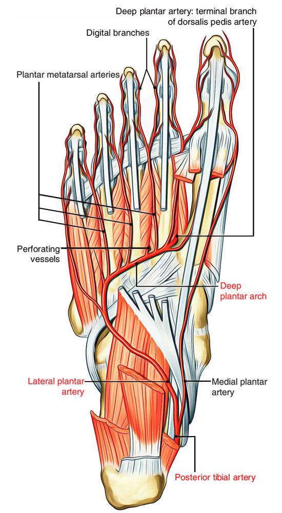Arteries Of Foot Earths Lab
