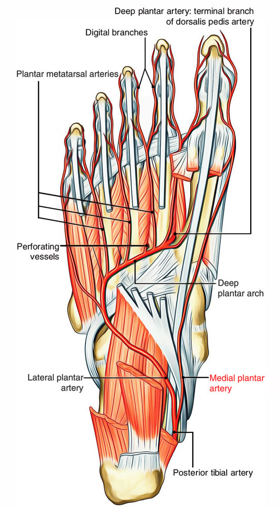 Arteries of Foot: Medial Plantar Artery