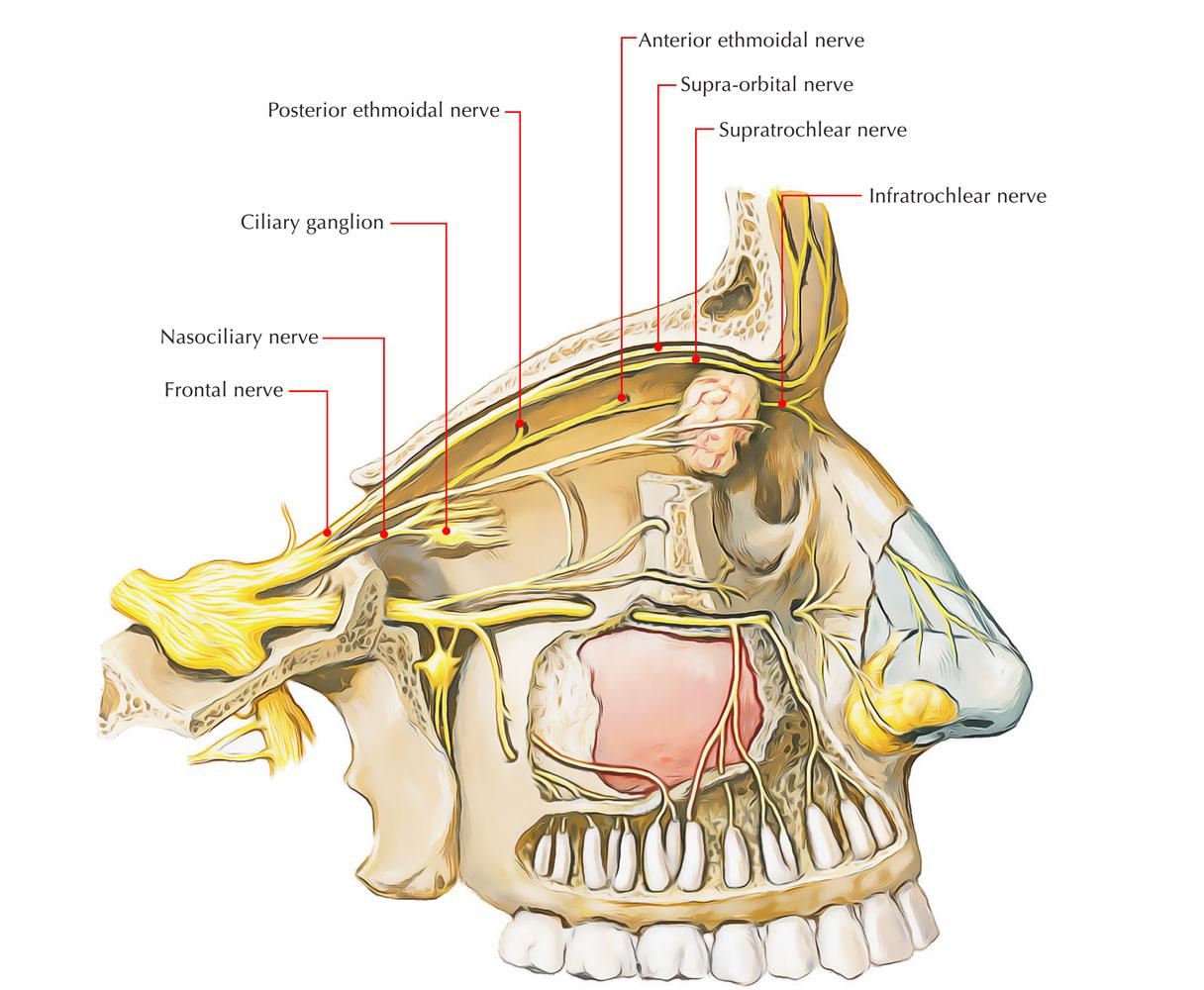 Anterior Ethmoidal Nerves