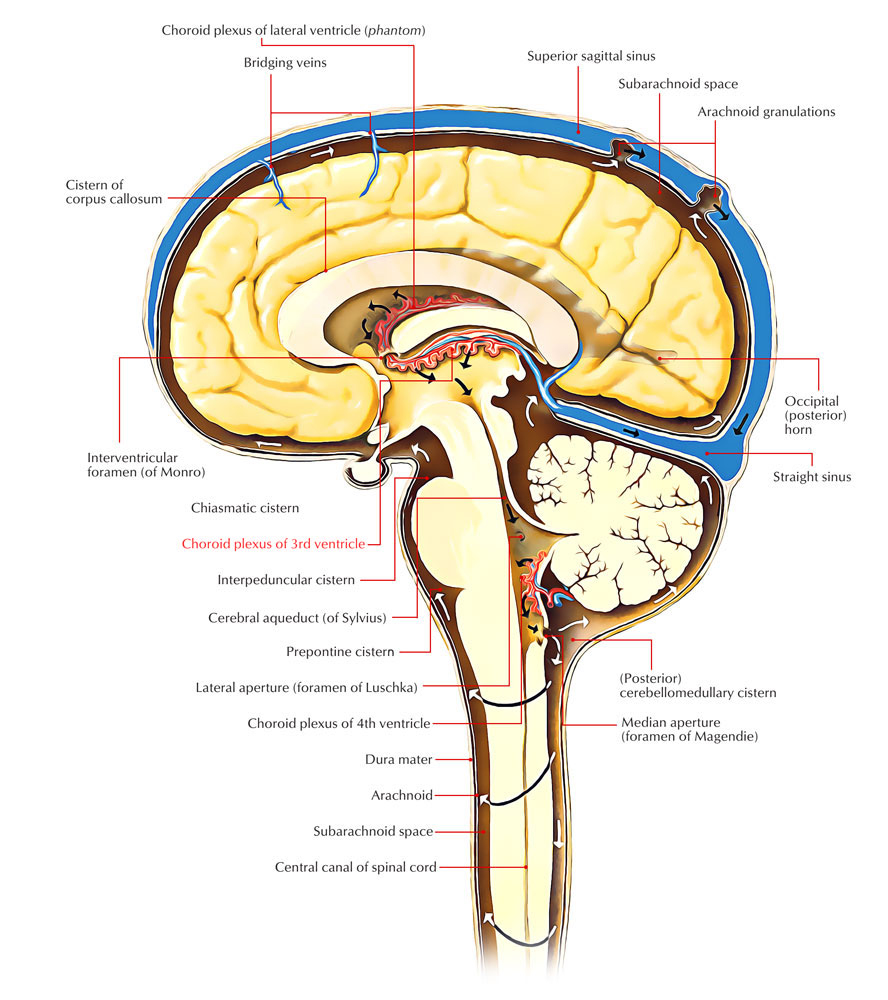 Choroid Plexus of the Third Ventricle