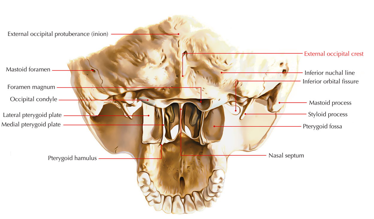 External Occipital Crest