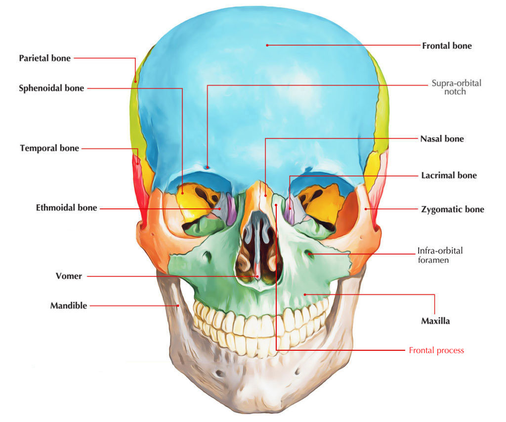 Frontal Process of Maxilla