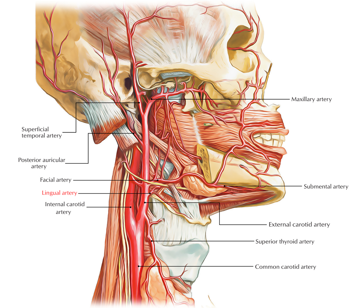 Internal Carotid Artery Anatomy Pictures and Information - oukas.info
