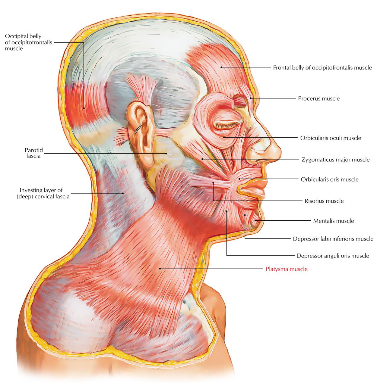 Platysma Muscle