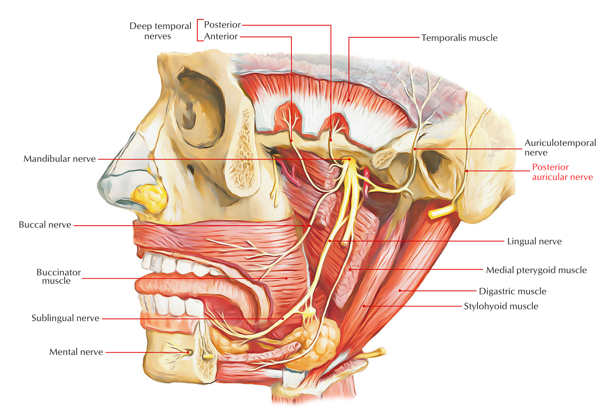 how to find facial artery surfac anatomy