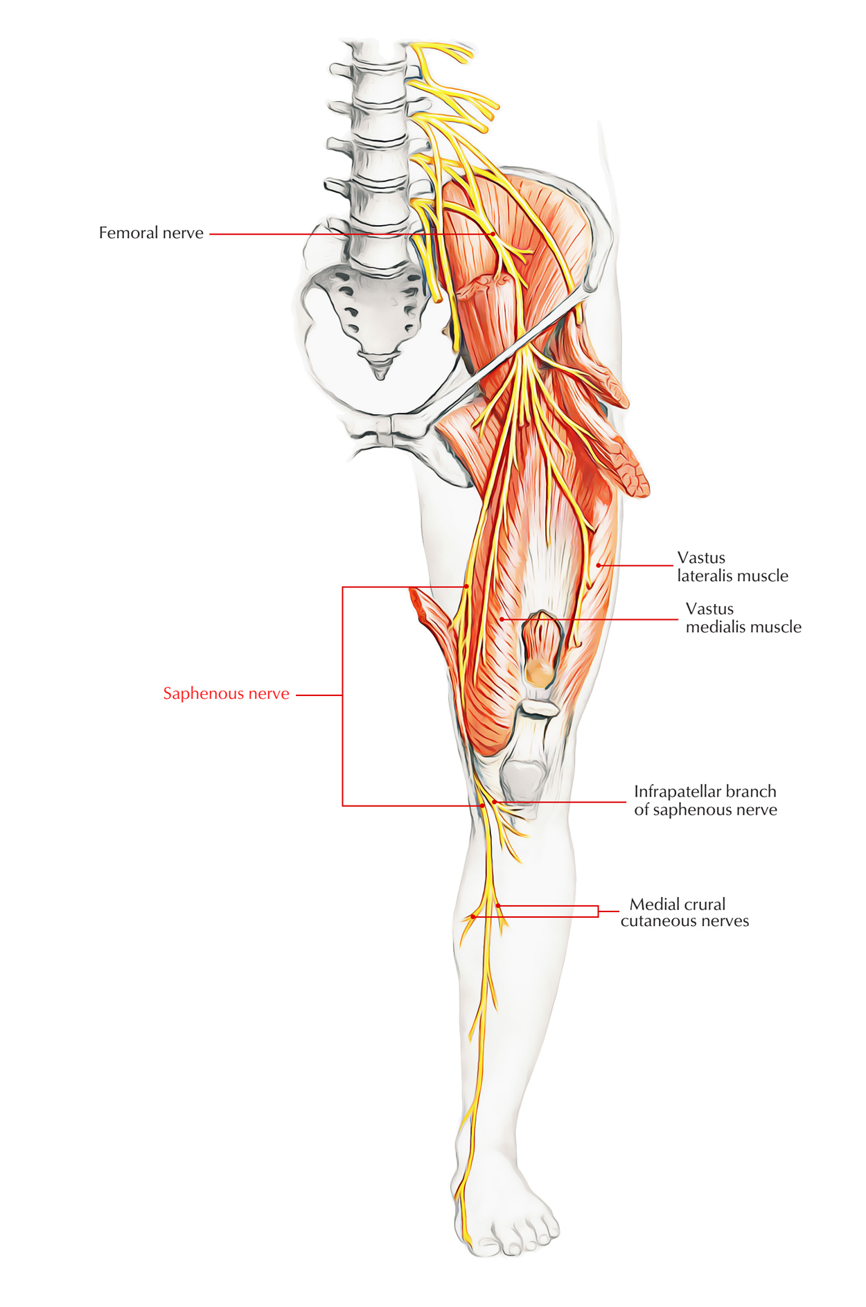 Nerves of Foot: Saphenous Nerve