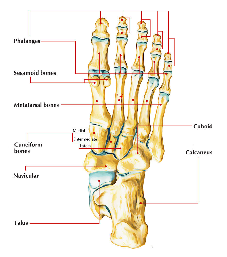 The Second Metatarsal