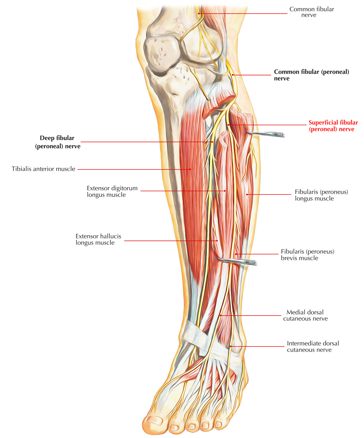 Nerves of Foot: Superficial Fibular Nerve