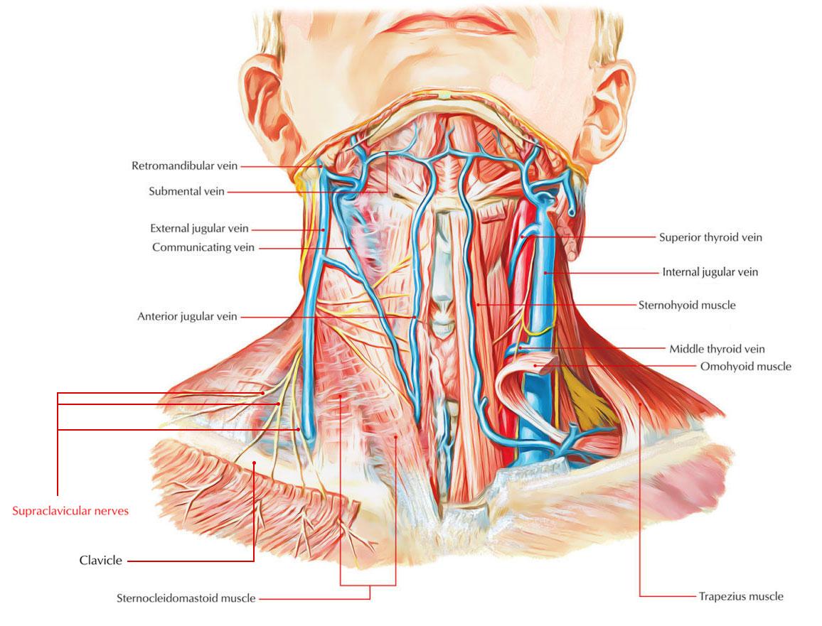 Supraclavicular-Nerves.jpg