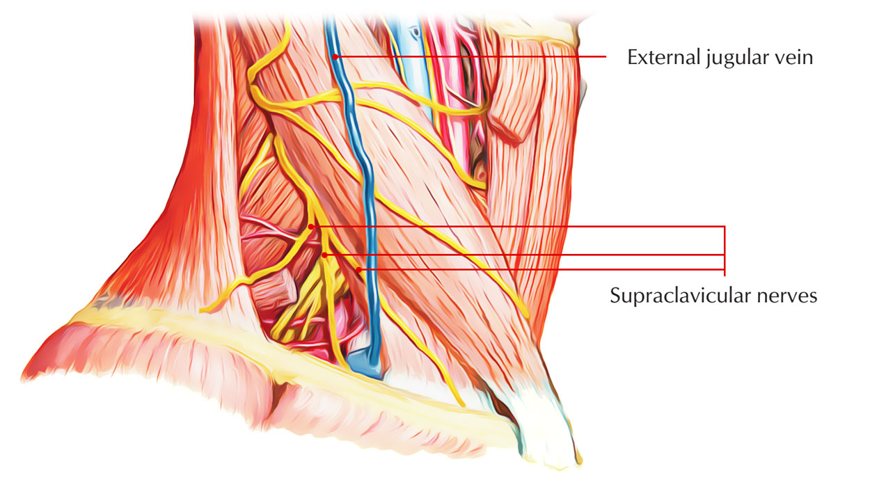 Supraclavicular Nerves