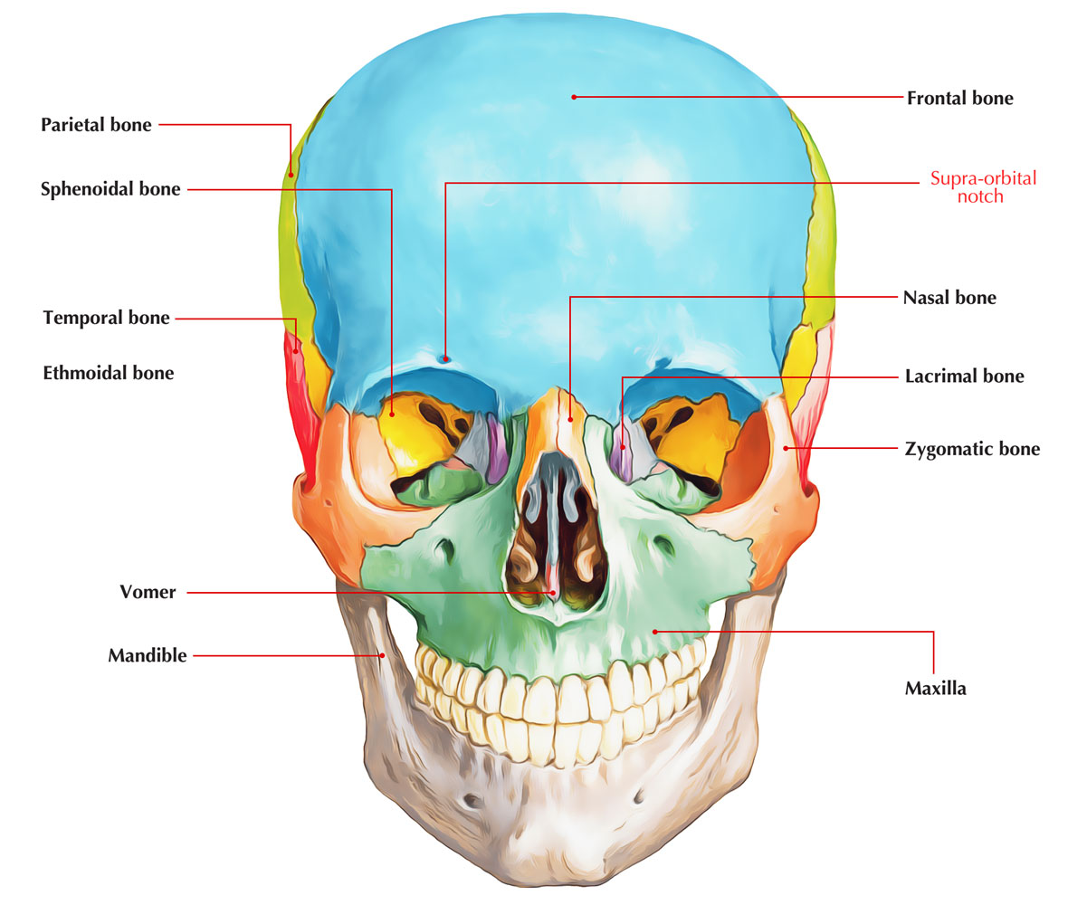 Supraorbital Notch